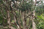 野生型和栽培型茶樹特徵