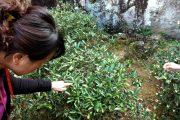 茶名花色繁雜多樣